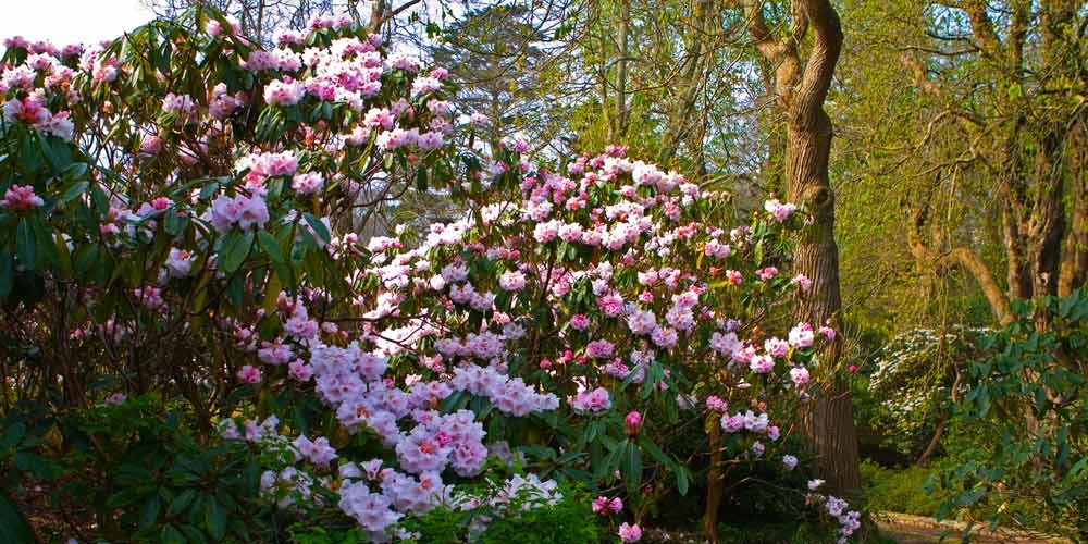 Rhododendrons at Mount Congreve